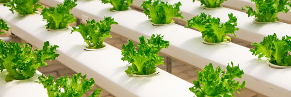 cum sa cresti legume iarna in sera
